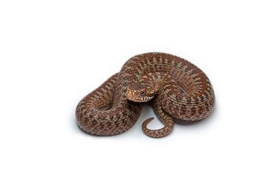 Brown snake wallpaper