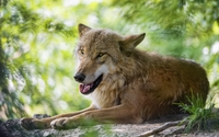 Brown wolf lying on the ground wallpaper 2560x1600 jpg