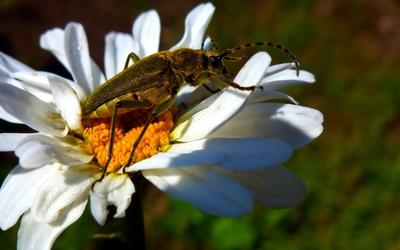 Bug on a daisy wallpaper
