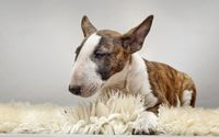 Bull Terrier wallpaper 1920x1200 jpg