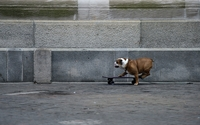 Bulldog on the purple skateboard wallpaper 1920x1200 jpg