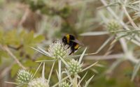 Bumblebee on a field eryngo blossom wallpaper 2880x1800 jpg