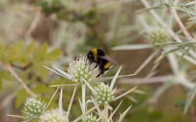 Bumblebee on a field eryngo blossom wallpaper
