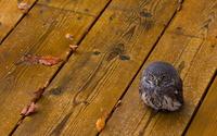 Burrowing owl [4] wallpaper 1920x1200 jpg