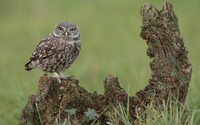 Burrowing Owl [5] wallpaper 1920x1200 jpg