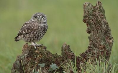 Burrowing Owl [5] wallpaper
