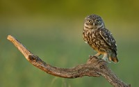 Burrowing Owl [2] wallpaper 1920x1200 jpg