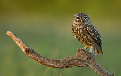 Burrowing Owl [2] wallpaper