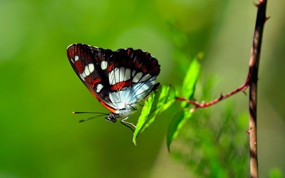 Butterfly [9] wallpaper