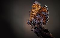 Butterfly [22] wallpaper 1920x1080 jpg