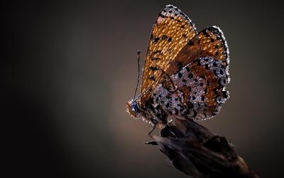 Butterfly [22] wallpaper