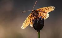Butterfly [30] wallpaper 1920x1080 jpg