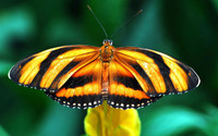 Butterfly [17] wallpaper 1920x1200 jpg