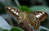 Butterfly [26] wallpaper 2560x1600 jpg