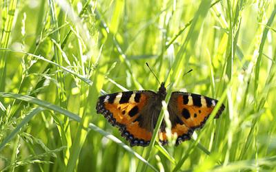Butterfly [19] wallpaper