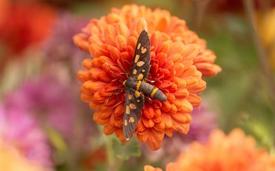 Butterfly on chrysanthemum wallpaper