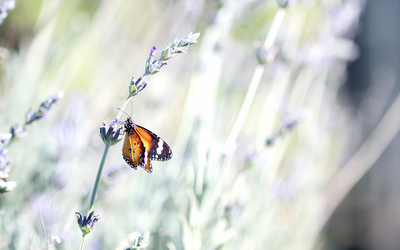 Butterfly on lavender wallpaper