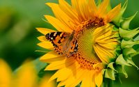 Butterfly on the sunflower wallpaper 2560x1600 jpg