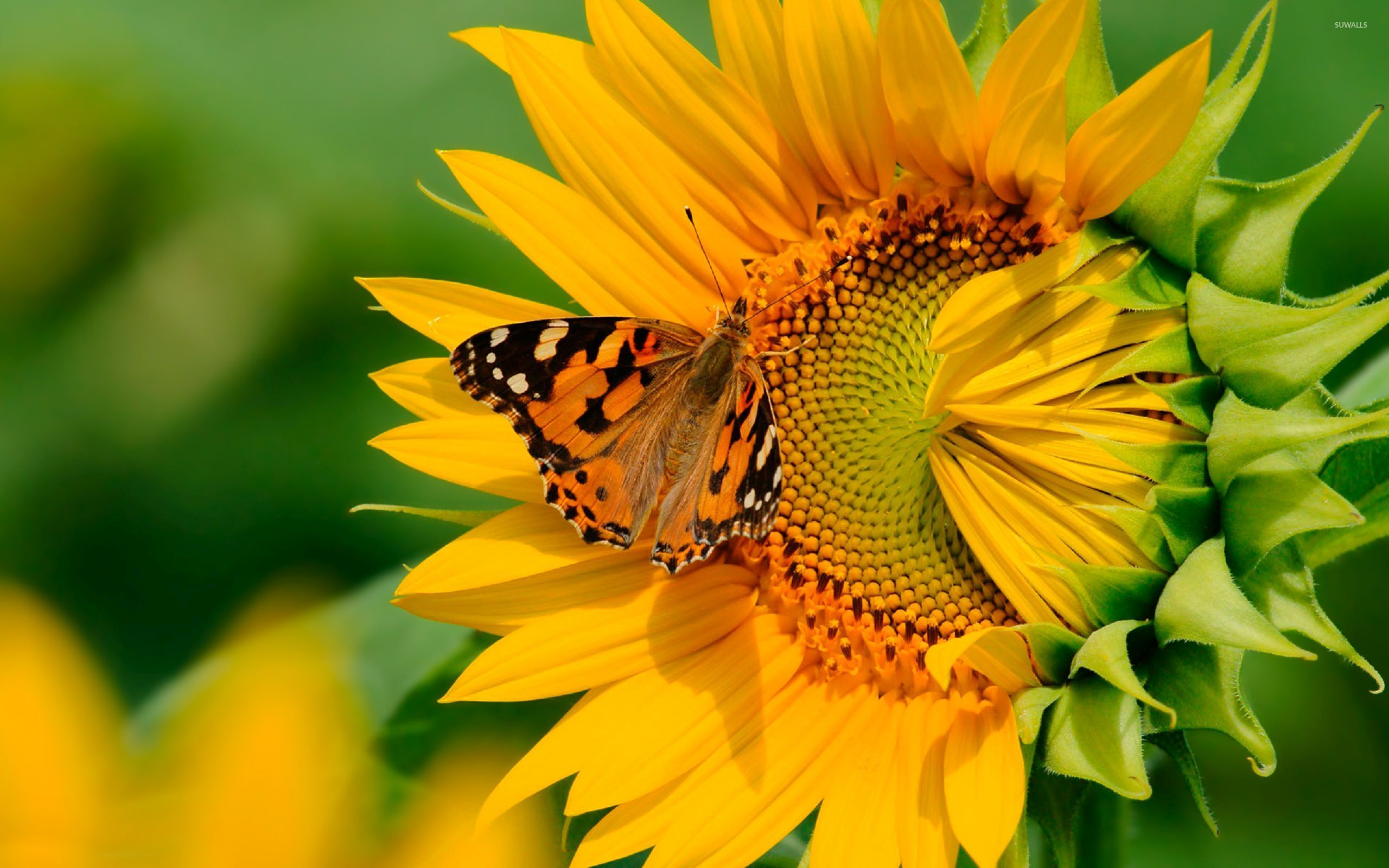 Butterfly on the sunflower wallpaper Animal wallpapers 54277
