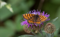 Butterfly resting on a Knapweed flower wallpaper 2880x1800 jpg