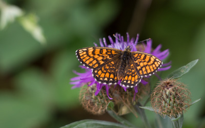 Butterfly resting on a Knapweed flower wallpaper