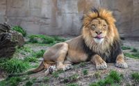 Calm lion resting on the ground wallpaper 2560x1600 jpg