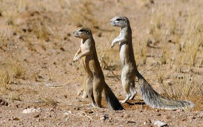 Cape ground squirrels standing wallpaper