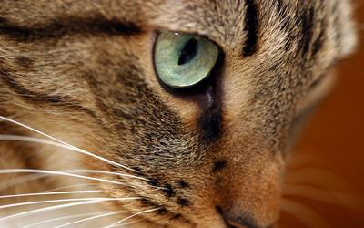 Cat [8] wallpaper