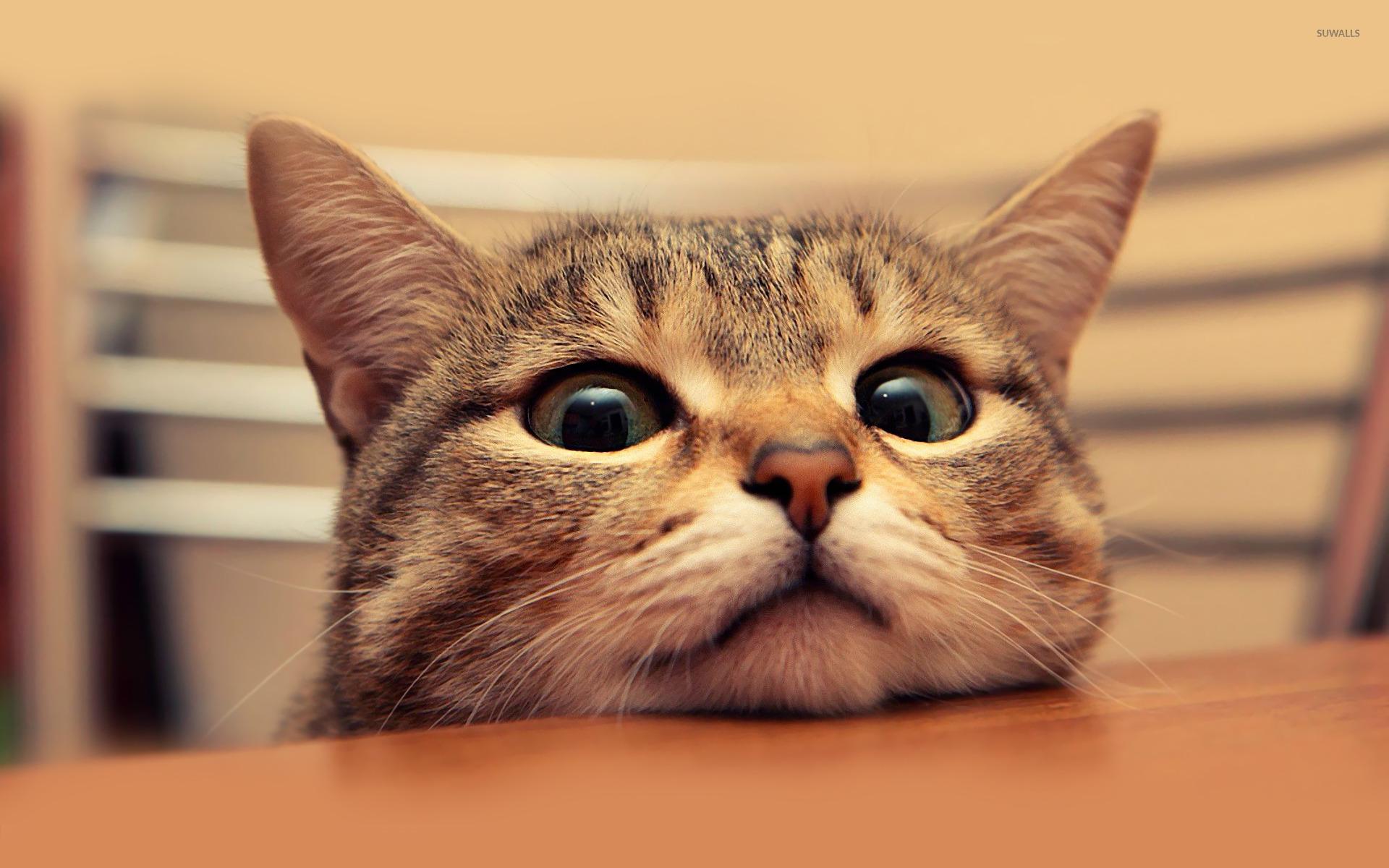 Wonderful Cat Wallpaper 1920x1200 - cat-15307-1920x1200  Image_1002953 .jpg