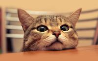 Cat [3] wallpaper 1920x1200 jpg