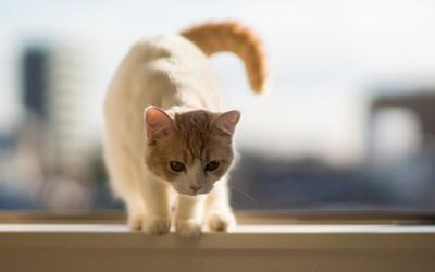 Cat [21] wallpaper