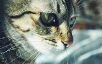 Cat [22] wallpaper 2560x1600 jpg