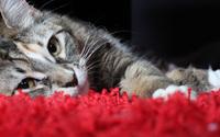 Cat [10] wallpaper 2560x1600 jpg