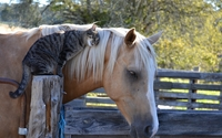 Cat cuddling with a horse wallpaper 2560x1600 jpg