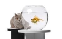 Cat hiding behind a fishbowl wallpaper 1920x1200 jpg