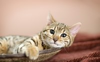 Cat in bed wallpaper 1920x1200 jpg