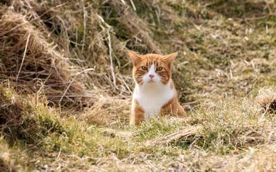 Cat in hay wallpaper