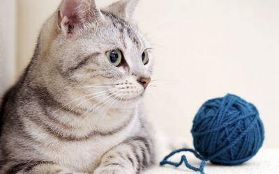 Cat looking at the yarn ball wallpaper