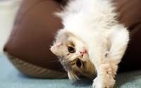Cat lying on a pillow wallpaper 1920x1080 jpg