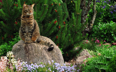 Cat on the rock near a pine tree wallpaper