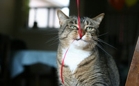 Cat playing with a ribbon wallpaper 1920x1200 jpg