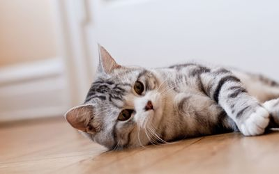 Cat resting wallpaper