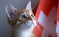 Cat staring wallpaper 1920x1200 jpg