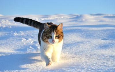 Cat walking in the snow wallpaper