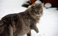 Cat walking in the snow [2] wallpaper 1920x1200 jpg
