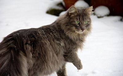 Cat walking in the snow [2] wallpaper