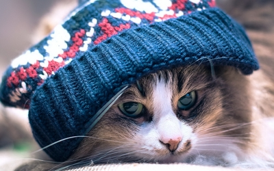 Cat with a blue hat wallpaper