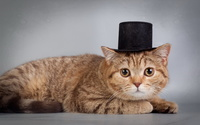 Cat with a hat wallpaper 2560x1600 jpg