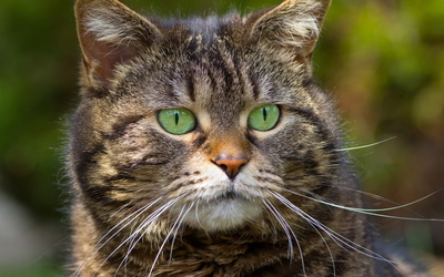 Cat with beautiful green eyes wallpaper