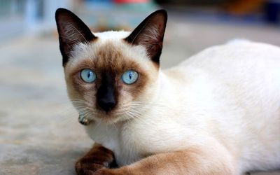 Cat with blue eyes [2] Wallpaper